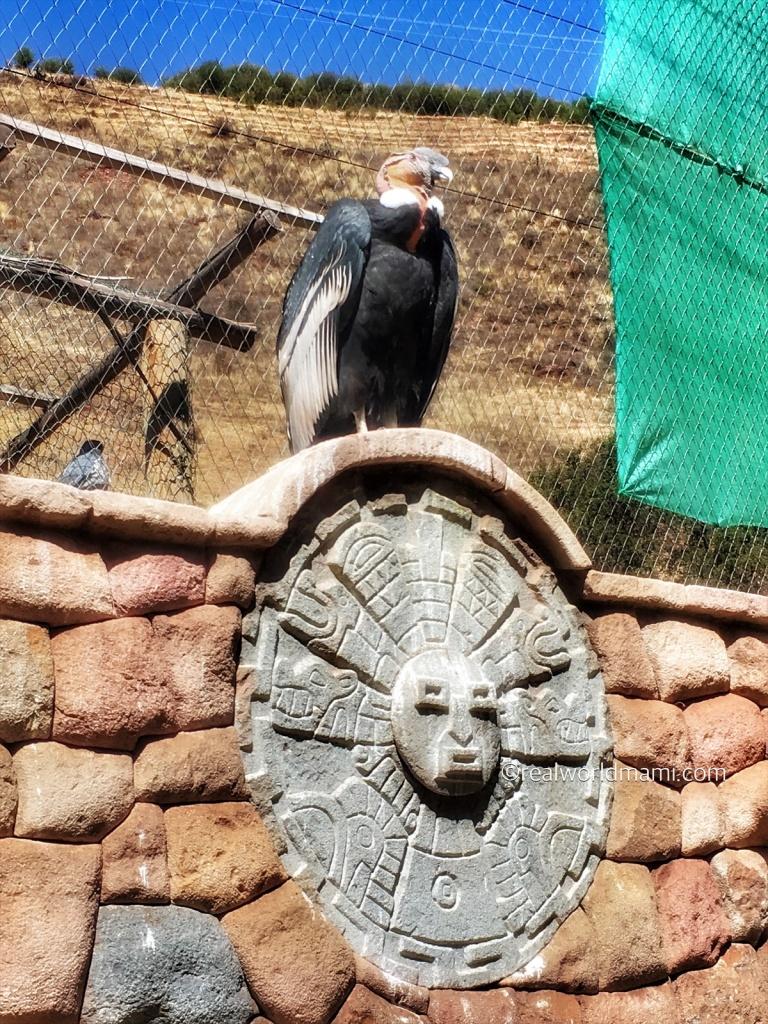 Peruvian Condors Cusco Peru