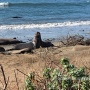 A must do in California – Watching the Giant Seal Elephants at Año Nuevo State Park