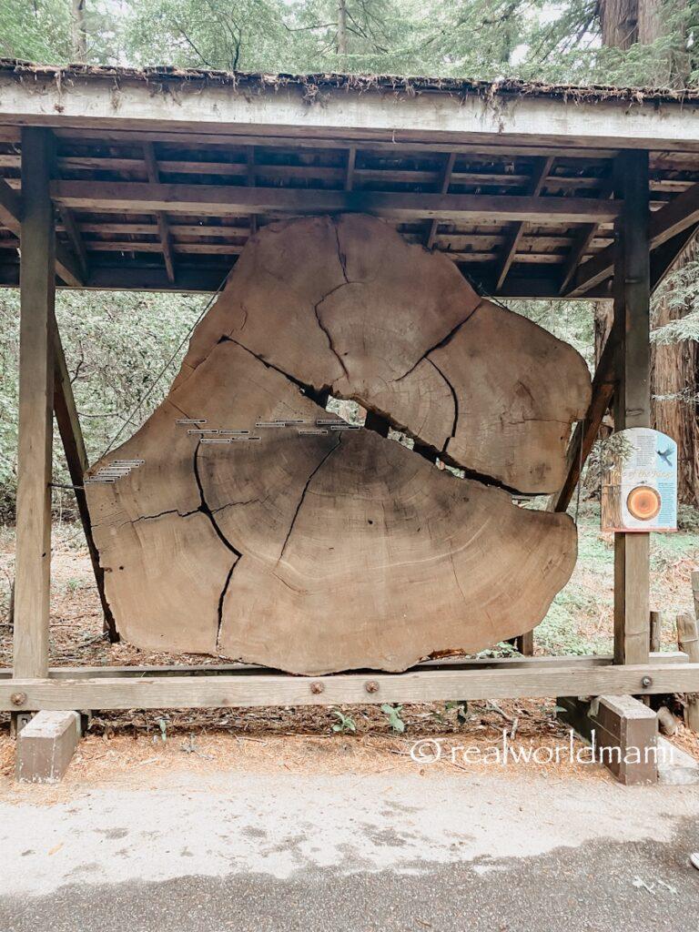 Henry_cowell_Redwood_tree