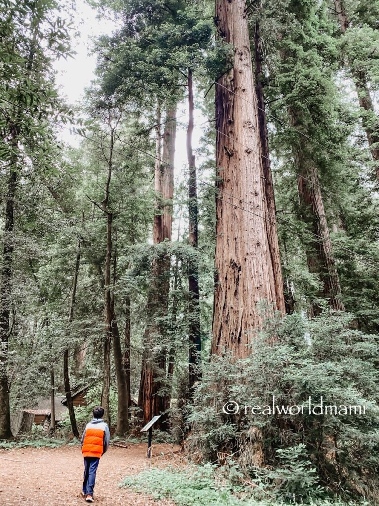 HENRY_COWELL_TALLEST_TREE