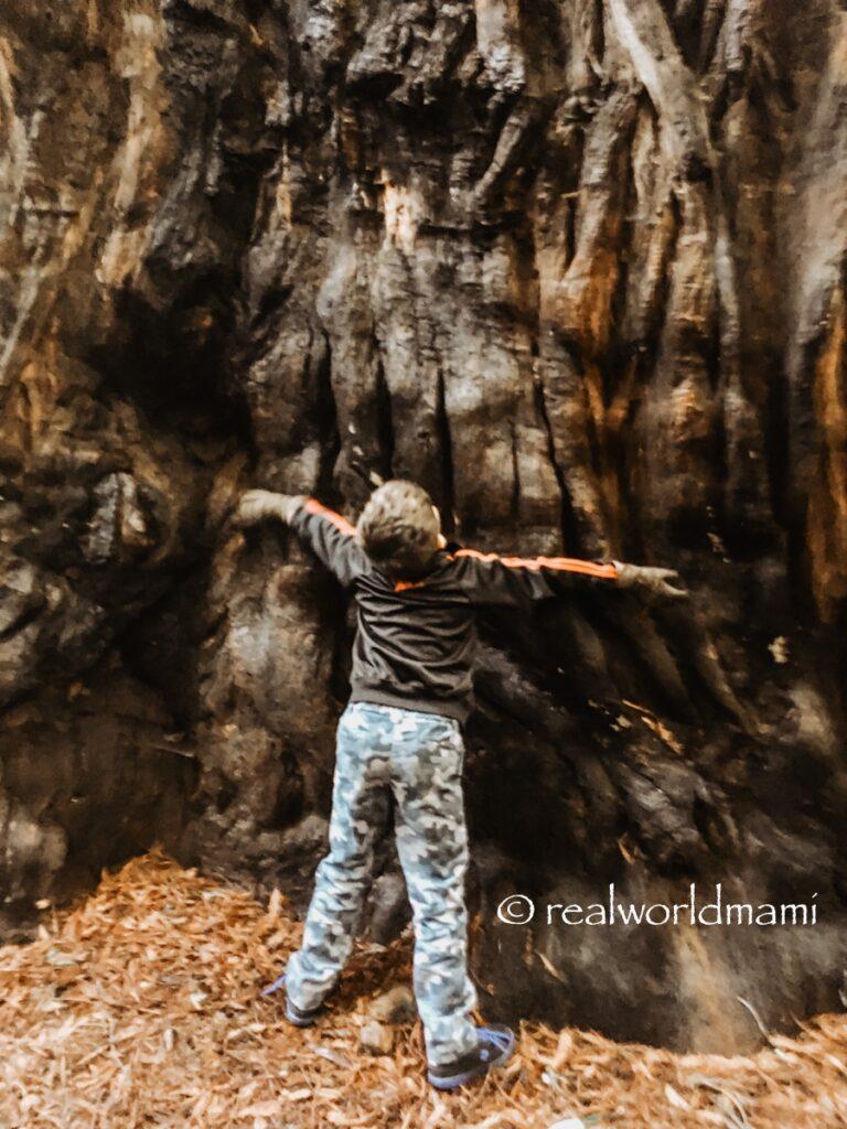 Henry_Cowell_tree